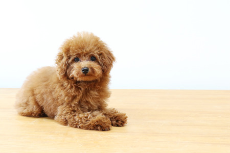 humbled: toy poodle Stock Photo