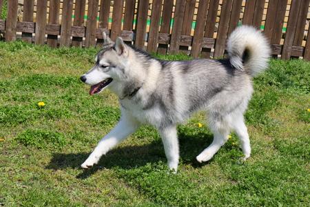 dauntless: Siberian Husky