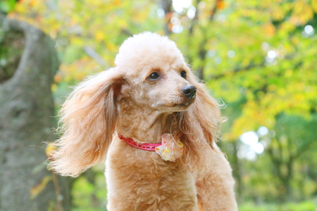 chairs: Toy poodle Stock Photo