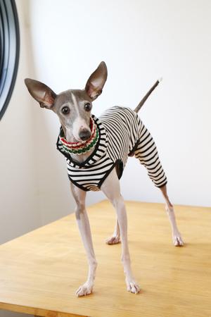 Dressed in Italian Grayhound