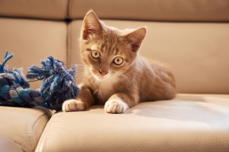 portrait of red kitten sitting next to blue toy on couch and looking into the camera photo