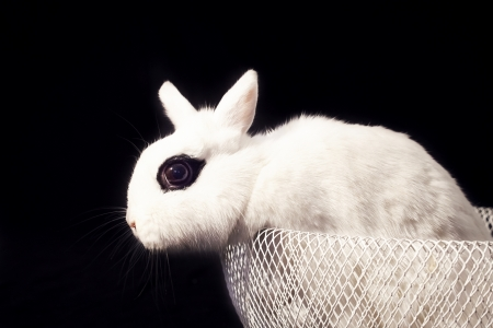 White rabbit sitting in bowl and looking to the left on black background photo