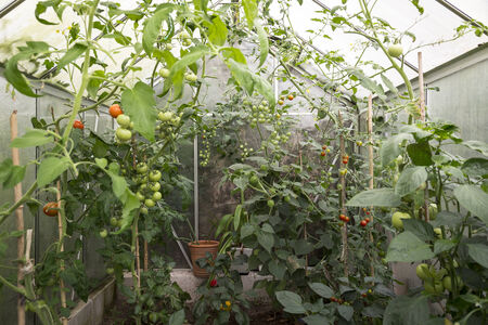self made: self made greenhouse with fresh tomatoes
