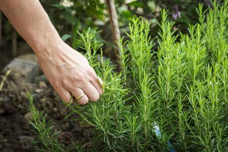調理のためのローズマリーの植物を選ぶ女性の手