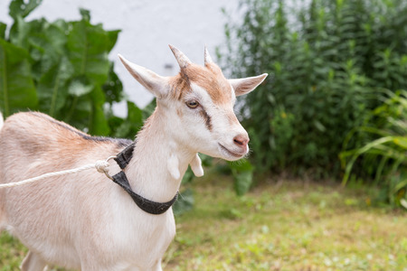 hircus: Young Goat at farm in Germany