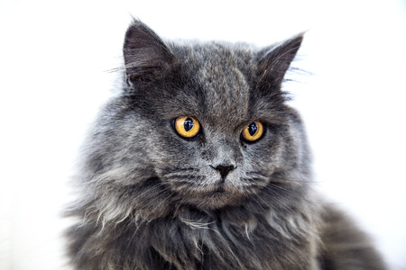 looking directly at camera: Cute long-haired grey cat with startling orange colored eyes looking directly at the camera