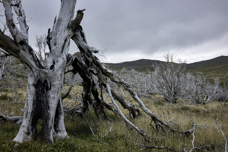 Deadwood forest on grassy plane in Chilean Patagonia. Hills in the background. Wide shot. Stock Photo