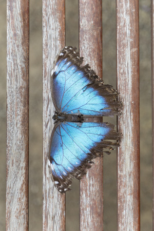 Overhead of a blue butterfly with wings spread out seated on a wooden railing.