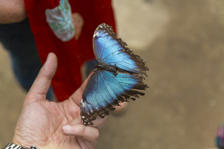 Blue butterfly on the fingertips. Close up. Stock Photo