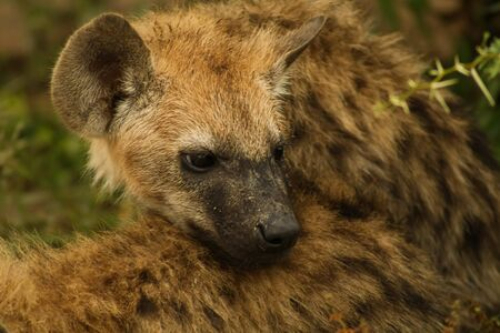 young hyena relaxing on mothers back feeling safe