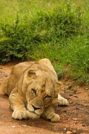 grown lion having a relaxing nap after a dangerous hunt