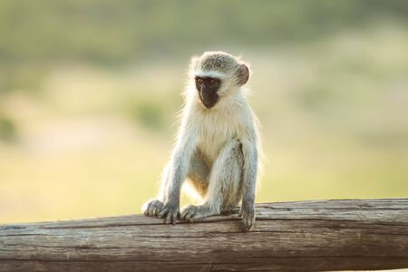 monkey child sitting on wooden fence and relaxing in the sun Stockfoto