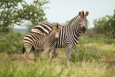 zebra family looking at the camera and waiting Stockfoto