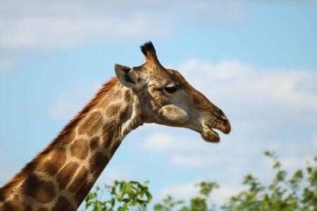 Medium headshot of a wild giraffe eating from a tree