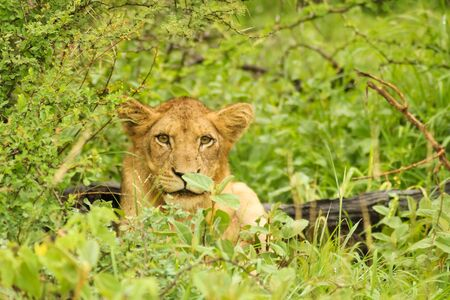 grown lion relaxing but still being awake and watching the surrounding