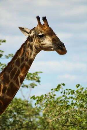 Medium headshot of a wild giraffe in Africa