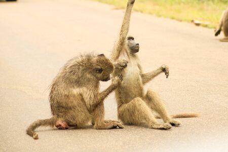 two monkeys cleaning themselves on a street
