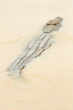 dangerous crocodile in river floating towards the next prey