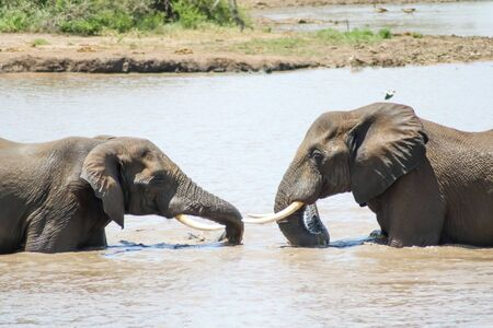 Young elephants playfully interact with each other in river