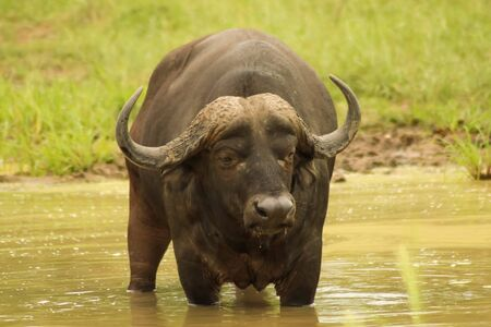 big water bison having a swim in the river