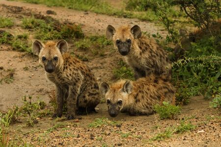 group of young hyenas waiting under a tree Stockfoto