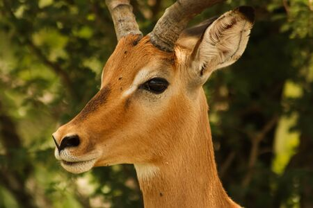 close-up of majestic impala antilope watching not to get eaten Stockfoto
