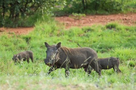 Wild boar family amidst green grass and bushes
