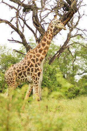 grown giraffe walking along a path with green trees