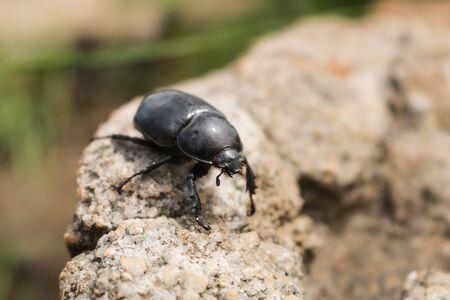 close-up of black ladybug walking on a rock Stockfoto