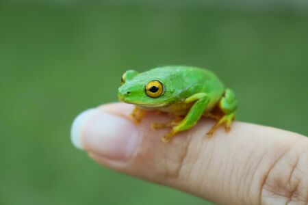 green frog with yellow eyes sitting on womans finger