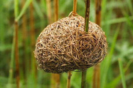 birds nest in between two bamboo sticks at iSimangaliso Wetland Park and Sainte-Lucie, South Africa 版權商用圖片