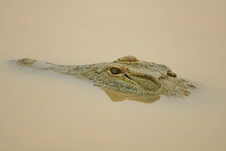 dangerous crocodile in river with open eyes at iSimangaliso Wetland Park and Sainte-Lucie, South Africa Stockfoto