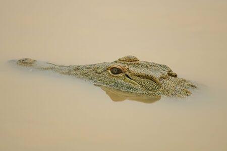 dangerous crocodile in river with open eyes Imagens