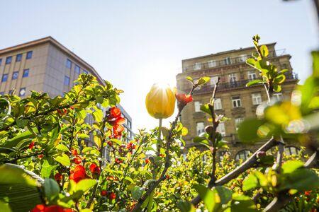 Decorative urban flowers in spring sunshine. Low angle view. Closeup. Stockfoto