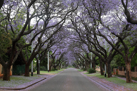 in lined: JACARANDA LINED STREET