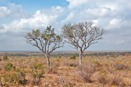 kruger: Two trees in Kruger National Park Stock Photo
