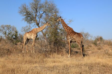 early morning: Giraffes busy grazing in early morning