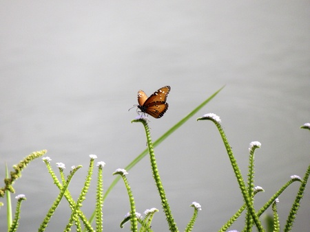 viceroy: Viceroy butterfly picking flowers close to a lake, Costa Rica Stock Photo