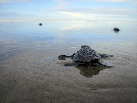 Baby Olive ridley sea turtle joining the ocean, Costa Rica Stock fotó