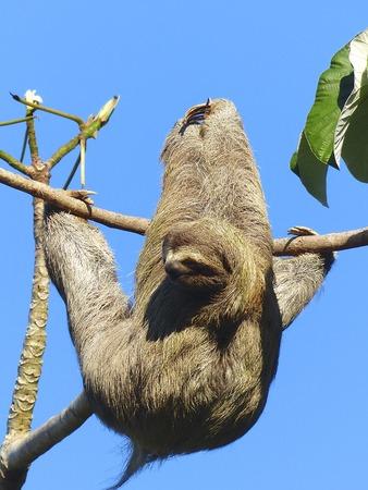 oso perezoso: Perezoso de tres dedos en un Guarumo, Costa Rica
