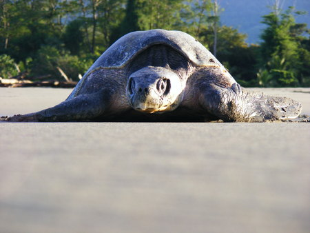 jeopardy: Olive ridley sea turtle reaching the pacific ocean, Costa Rica Stock Photo