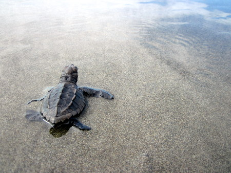 Baby Olive ridley sea turtle reaching the pacific ocean, Costa Rica