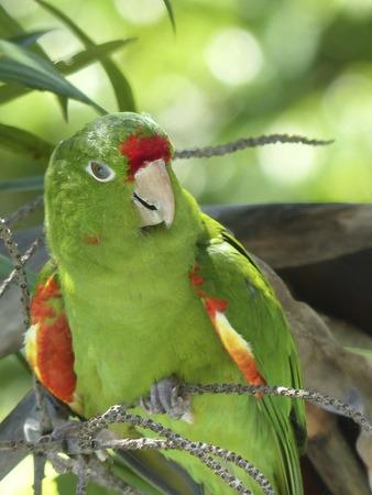 periquito: Parakeet Aratinga finshi buscar atenci�n Costa Rica,