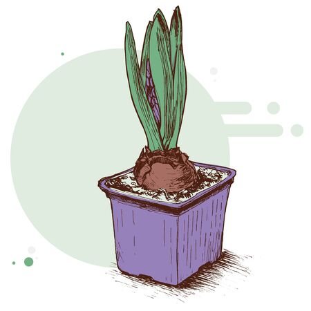 Lilac pot with growing hyacinth flowers on a green background. Graphic illustration of Botanical