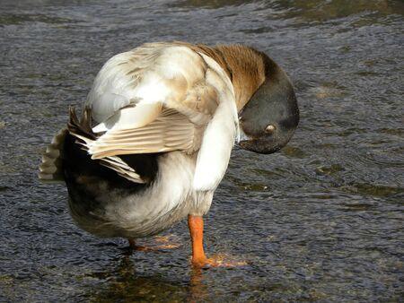 preening: preening duck