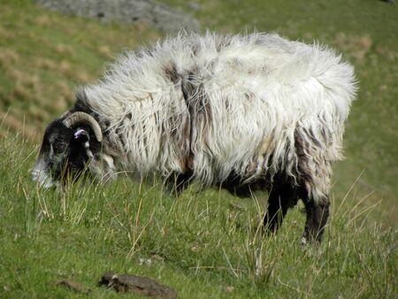 Lake District RamSheep photo
