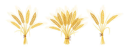 Bouquets of wheat cartoon set. Gold sheaf ears ripe spikelets wheat collection. Agricultural symbol oat bakery flour production. Design organic farm elements, organic bread packaging beer label vector