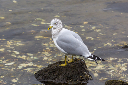 White and grey seagull standing on rock in the middle of seashells