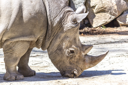 White Rhinoceros face