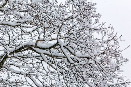Snow covered tree branches in snow storm Stockfoto